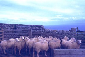 Sheeps on Lundy, 1988